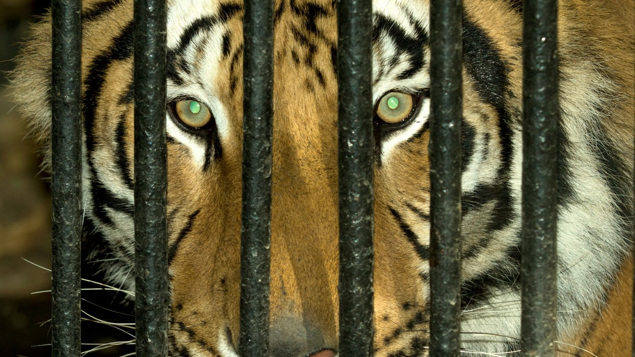 Florida prom has caged tiger, other wild animals on display