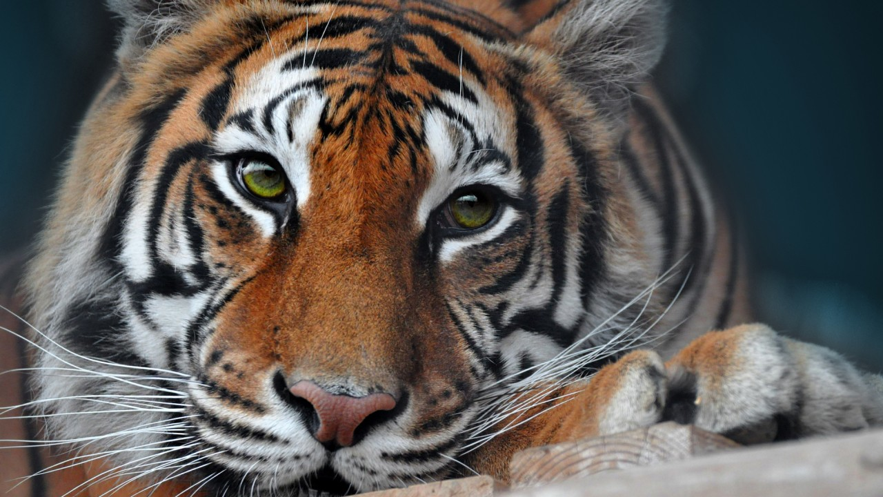 A high school had a tiger at its prom. Here's what the media covered and what it missed.